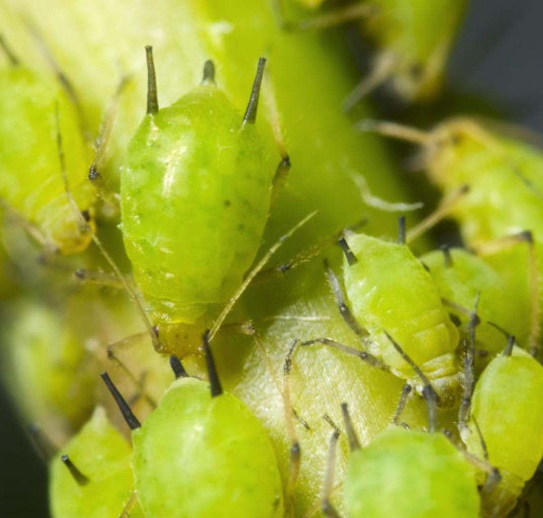 Combattere Afidi Delle Rose afidi i pidocchi delle piante come combatterli