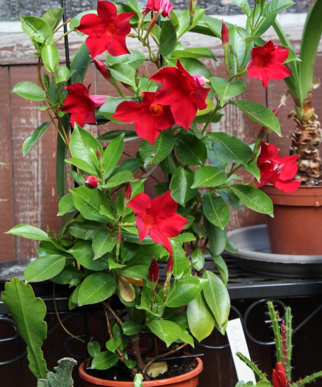 Rampicanti Adatti In Vaso dipladenia mandevilla pianta rampicante ornamentale dai fori