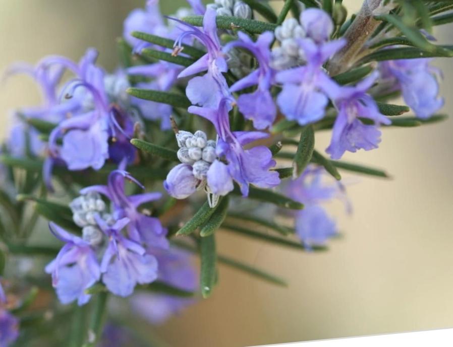 fiori rosmarino